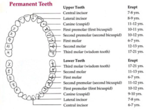 permanent teeth